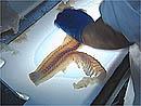 Filetering av torsk ved Melbu Fiskeindustri.