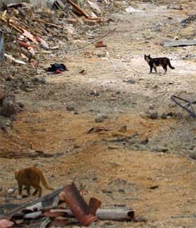 KATTEPINE: Israelske bosettere som har tatt med seg kattene sine lar pus bli igjen når de flytter fra Gaza. Over 1000 nybyggerkatter kan miste livet. (Foto:AP Photo/Jerome Delay)