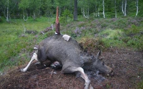 BRUTALT. Noen få sparkemerker etter oksens bakbein viser at den trolig har omkommet relativt raskt av skadene den ble påført når den tunge kroppen ble spiddet. Merk brukket del av saltsteinen som ligger på elgeryggen. (FOTO: Frank Haug/ JEGER hund & våpen)