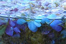 Fiol-lilla matsprell i Naturens verden blir til en deilig drikk!. (Foto: Inger-Lise Østmoe)