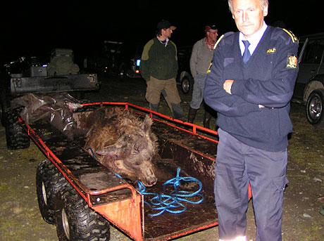 Bjørnen ble i natt fraket ut av jaktområdet og blir i dag undersøkt av myndighetene. Foto: Karl Audun Fagerli