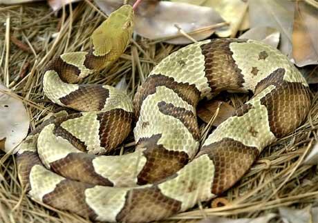 En hopperhode-mokasin er en giftig slange. To av slangene var små utgaver av denne typen. (Arkivfoto: Scanpix/AP Photo/Lou Krasky)