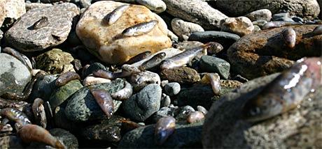 Død lakseyngel låg strødd utover den tørrlagde elvebotnen. (Foto: Surnadal Elveeigarlag)
