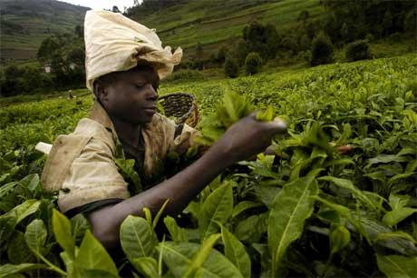 Landbruket i fattige land lider under landbrukssubsidier i rike land. Bildet viser en teplukker i Rwanda. (Foto: Gianluigi Guerica/ AFP/ Scanpix)