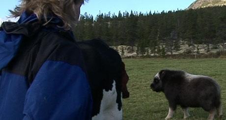 """""""Knut Arild"""" koser seg som kua på den grønne eng, foto: Geir Olav Slåen"""
