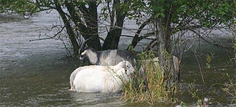 To sauer, eit lam og ein geitebukk står fast i Åheimselva (Foto: Sigve Slagnes, Synste Møre)