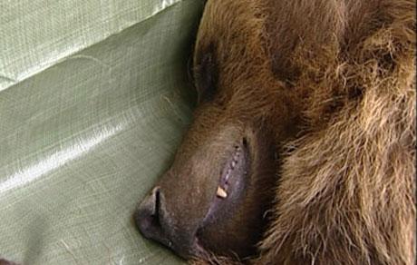 Denne bjørnen gikk til angrep på saueflokken til Kåre Kleiva i Elverum. Foto: Frode Meskau/Nrk