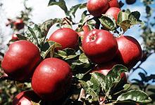 Ønsker du norske epler til jul må du hamstre nå. Foto: NTB-arkivfoto / SCANPIX