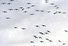 Fugleinfluensaen kan komme hit til landet med trekkfugler. Foto: Richardsen / SCANPIX