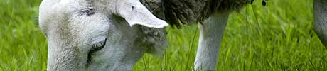 <b>Bort med sauen: </b>I 2005 ble bare én sau tatt av ulv i Østfold. Nå vil Naturvernforbundet ha sauen vekk fra ulveområdene, for å hindre nye sauedrap. (Foto: Scanpix)