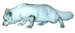 Fjellreven er kanskje vår mest utrydningstruede dyreart. Foto: SCANPIX