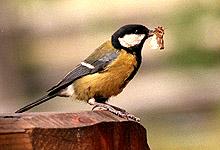 Er det lurt å invitere småfuglene nesten inn på dørstokken ved å legge mat på fuglebrettet? Foto: Paul kleiven, SCANPIX