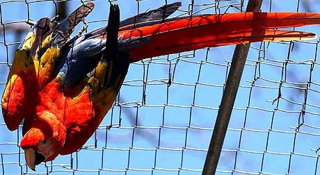 Importforbudet gjelder kommersiell import av burfugl. (Illustrasjonsfoto: Ap/Scanpix)