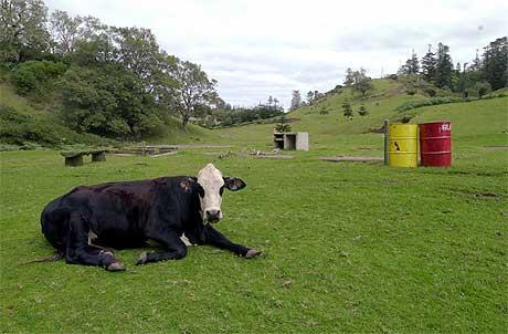 I KRANGEL MED EU: New Zealand er en av verdens største landbruksnasjoner. Denne kua er trolig utenfor krangelen, selv om den til slutt kan havne på et EU-bord. Foto: AP/Scanpix.