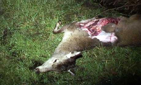 Hjorten ble påkjørt av en bil, kastet i været og inn gjennom frontruta i bilen 35-åringen kjørte. (Foto: Petter Vidar Vågsvær)