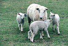 Norgesgruppen ønsker å selge ferskt lammekjøtt i grillsesongen. Foto: SCANPIX