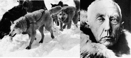 Roald Amundsen og de andre polfarerne hadde ikke kommet langt uten hjelp fra hundene. Foto: UPI/Bettmann.