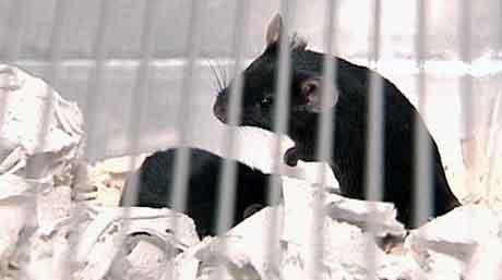 Forskningen på genmodifiserte mus har blitt mer vanlig. Foto: NRK