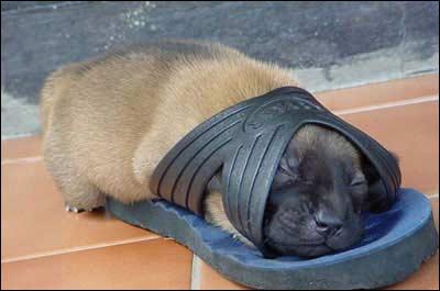 April 2006: Norsk Kennelforbund melder at man har utviklet en ny hunderase spesialberegnet på å fange og bringe tøfler.