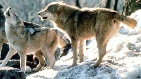 I alt det til nå registrert sju ulver, som har tilknytning til Østfold vinteren 2005-2006. Foto: Scanpix