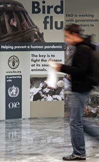 FNs organisasjon for mat og jordbruk i Roma får mer penger til kampen mot fuglevirus. (Foto: A.Bianchi, Reuters)