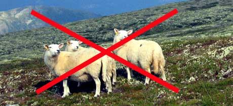 Det kan bli slutt på beiting i fjellet i deler av landet, dersom Mattilsynet får det som de vil. (Foto: Gunnar Lier / Scanpix)