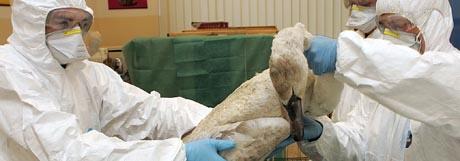 Italienske helsemyndigheter undersøker en død svane. (Foto: Reuters)