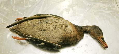 Også i Norge blir det daglig brakt inn døde fugler. Denne stokkanda ble sjekket på Veterinærinstituttet i Oslo. (Foto: Jarl Fr. Erichsen, Scanpix)