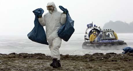 Det plukkes fortsatt opp døde svaner på øya Rügen. Dette bildet er fra i dag. (Foto: J.Köhler, AFP/DDP)