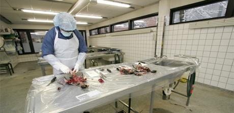 En død stokkand blir obdusert av veterinær Bjørnar Ytrehus ved Veterinærinstituttet i Oslo. Foto: Jarl Fr. Erichsen / SCANPIX