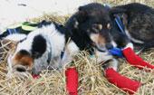 På sjekkpunktene kan du se hundene få seg en velfortjent hvil. Foto: NRK/Trine Hamran.