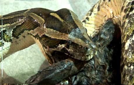 Slanger har ikke øyelokk, og kan derfor ikke lukke øynene. (Foto: NRK/Ingelin Røssland)