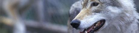 Rundt 150 hundeiere har de siste ti årene fått sine hunder drept av ulv i Norge og Sverige. Foto: NRK