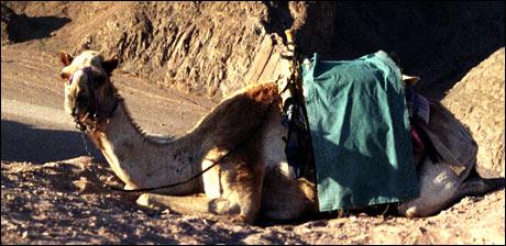 Parkert kamel. (Foto: Scanpix)
