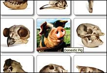 Gjett hvilke dyr hodeskallene tilhører på California Academy of Sciences sine hjemmesider.