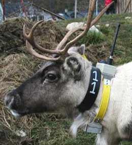 Radiomerket reinsdyr. Regjeringen vil ta vare på villreinen i norsk natur. (Foto: Scanpix)