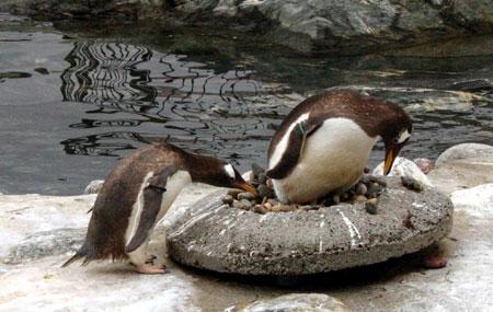 Hos pinvinane har hoa og hannen like stort ansvar for reir og ungepass.