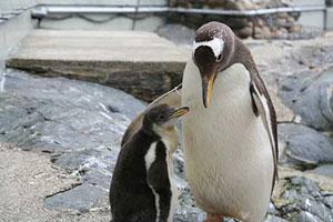 Pingvin med unge.