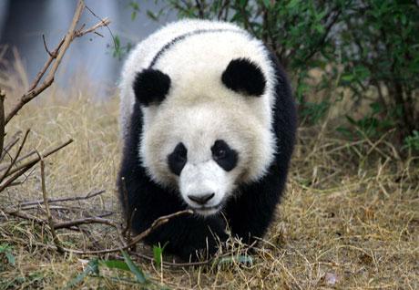 I løpet av ett døgn kan en kjempepanda spise mellom 12 og 38 kilo bambus. (Foto: AP Photo/Elizabeth Dalziel, File)