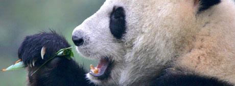 I løpet av ett døgn kan en kjempepanda spise mellom 12 og 38 kilo bambus. (AP Photo/Elizabeth Dalziel)