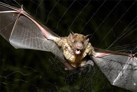 Statens vegvesen mener eksperter på flaggermus at dyrene vil venne seg til sprengningsarbeidene. (Arkivfoto: Brasiliansk vampyrflaggermus. AP Photo/Mario Quadros)