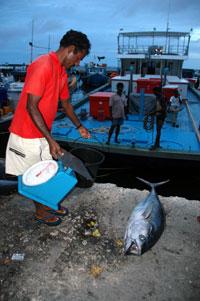 Tunfisk er landets desidert viktigste fiskeslag, men tunfiske trues nå av klimaendringene, for den er svært følsom for endringer i temperaturforhold og strømninger i havet. Foto: NRK
