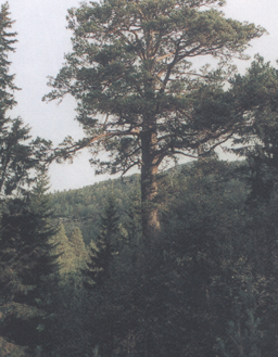 Storefurua på Kjelstad. Foto: Henning Rivedal.