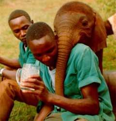 Natumi er lei av flaska og vil heller ha melken i glass. Foto: Lissa Ruben, Copyright: Sheldrick Wildlife Trust