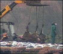 Kyr fraktes bort for å brennes i Storbritannia. (Illustrasjonsbilde)