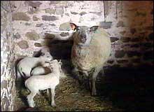 Flere hundre sauer ble slaktet på en gård i nærheten for to uker siden (Foto: EBU)