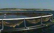 Hellesund fiskeoppdrett - rammet av dødelige alger
