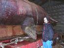 Snorre Stuen fra Norsk Veterinærhøgskole studerer hvalen