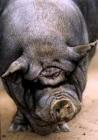 Eigarane til Porky nyttar sivil ulydnad for å redde grisen.