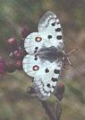 Den vakre apollo-sommerfuglen ser man om dagen. Foto: NRK.